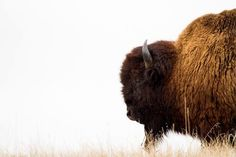 Bison  A bison wallow is a shallow depression in the soil, either wet or dry. Bison roll in these depressions, covering themselves with mud or dust. Possible explanations suggested for wallowing behavior include grooming behavior associated with moulting, male-male interaction.