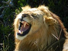 An adult male Lion in the Kruger National Park as part of our PANORAMA TO KRUGER NATIONAL PARK TOUR.