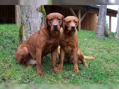Wurfankündigung Labrador Welpen in foxred