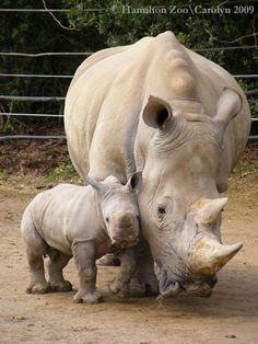 Gentler Side of Hamilton's Rambunctious Rhino Mom & Baby Rhino // Keeping close to Mom. Hamilton Zoo, New ZealandMom & Baby Rhino // Keeping close to Mom. Hamilton Zoo, New Zealand Cute Baby Animals, Animals And Pets, Funny Animals, Wild Animals, Safari Animals, Baby Rhino, Tier Fotos, African Animals, African Elephant