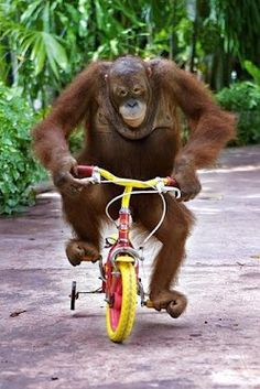 An orangutan monkey riding a bike Primates, Animals And Pets, Baby Animals, Funny Animals, Cute Animals, Monkey See Monkey Do, Ape Monkey, Orangutan Monkey, Mundo Animal