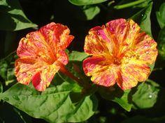 Orange Wunderblumen