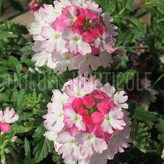 image de Verbena Lanai® Twister Pink