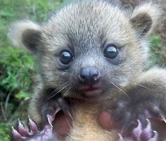"""the olinguito, the mammal species discovered in August and described as a """"cross between a teddy bear and house cat"""""""