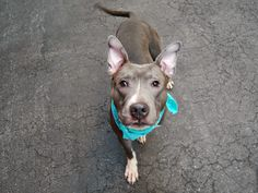 A1079148_Fetty  - TO BE DESTROYED 07/02/16 Fetty is still very much a puppy at only a year old. Sadly his owner passed away and the person who took him in is unable to keep him. Fetty is friendly around adults and children but could benefit from training and socialization so he can learn how to make friends with other dogs. An experienced owner is needed tonight to give Fetty the chance to be the best dog he can be. He is young and he can learn but he needs time, patience and love……three…