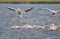 pelicans n flamingoes