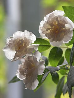 Rosa 'Hume's Blush Tea-scented China' (China, before 1808)-Roses Anciennes