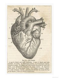Want this as a Poster! Anatomy of the heart <3