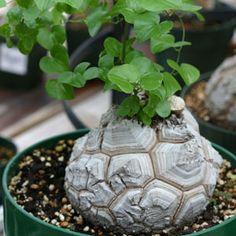 Диоскорея Dioscorea Elephantipes (Слоновая нога) - Магазин экзотических растений и семян - TH Flora