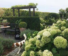 Fall is coming and my white Annabells are turning green  #hydrangea #annabelle #garden #instagardenlovers #haven #minhave #tuin #garten #hage #trädgård #jardin #photooftheday #gardenlove #kingcharlescavalier