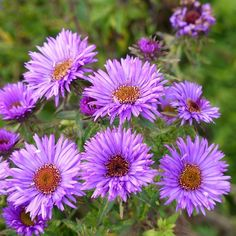Purple Dome is a New England type aster that blooms in early fall with hundreds of deep lavender-purple flowers. This dwarf plant has a neat mounding habit and is a perfect choice to edge pathways and fill small spaces. Aster Flower, Flower Pots, Bee Friendly Plants, Dwarf Plants, Dwarf Shrubs, High Country Gardens, Butterfly Weed, Flower Landscape, Gardens