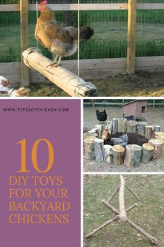 10 DIY Toys that will make your chickens happy! - Chicken Diy Projects Homestead Survival - Chickens love to get busy. They enjoy running around, scratching and pecking at things all the time - Diy Chicken Toys, Chicken Pen, Chicken Coup, Chicken Life, Chicken Run Ideas Diy, Chicken Coop Run, Farm Chicken, Raising Backyard Chickens, Keeping Chickens