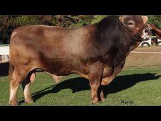 Aurora Braunvieh Bulls for Sale 17 Nov 2016 NAMBOER Windhoek