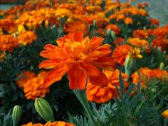 Beautiful marigolds, one of my fave type of flowers for the garden.