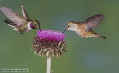 images+of+hummingbirds | high resolution hummingbirds pictures. cute hummingbirds pictures