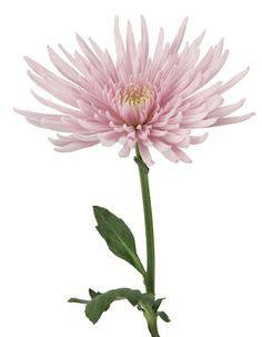 DVFlora© Chrysanthemum Lavender Spider Anastasia
