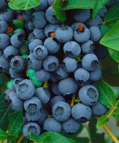 Blåbær 'Bluejay'