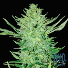 Emerald Triangle Headlights Kush Auto Regular Weed Seeds: This one has a 30/70 indica/sativa ratio and is the result of Lemon OG Kush getting its freak on with Original Haze. The yield is medium but the flowering time is very quick, just 5 – 6 weeks! The plants are short and stocky and are sure to brighten up your home.
