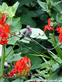 A little visitor to my garden yesterday evening, perched on one of his favorite flowers, crocosmia 'Lucifer'! ;-)