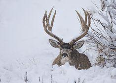 Deer Pics, Deer Photos, Deer Pictures, Mule Deer Buck, Mule Deer Hunting, Hunting Dogs, Large Animals, Zoo Animals, Big Deer