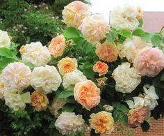 'Alchymist ' Rose Photo