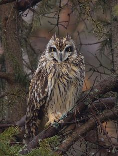 short-eared owl in the rain by Phil Armishaw, via Flickr