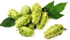 Humulus Chinook Beer Hops Vine Grow Your own Beer! 2.5 Pot