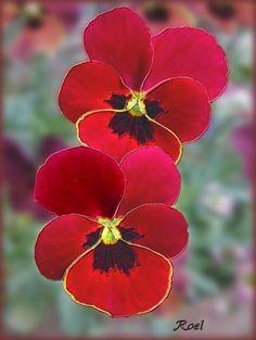 Rode violen