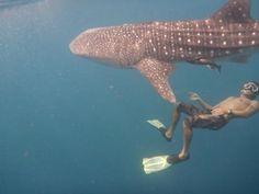 Whaleshark around the Gili Islands