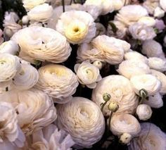ranunculus ...you can store the little bulbs in a paper bag over the summer - so happy I wanted to save those little darlings.