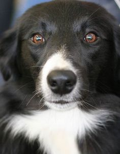 """Border Collie. """"If I have any beliefs about immortality, it is that certain dogs I have known will go to heaven, and very, very few persons."""" James Thurber. http://www.annabelchaffer.com/categories/Dog-Lovers-Gifts/"""