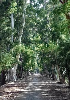 Marmaris Gökova Eucalyptus Trees by Olcay Türker on 500px