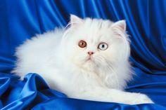 gatto persiano  Persian cat