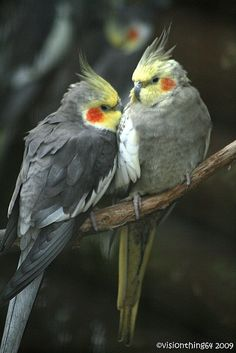 Cockatiel, Male cockatiels are more inclined to come up with elaborate songs… Cute Birds, Pretty Birds, Beautiful Birds, Animals Beautiful, Cockatiel, Budgies, Animals And Pets, Cute Animals, Toucan