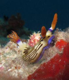 Nembrotha lineolata nudibranch feeding on a sponge.