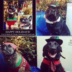 Happy Paw-lidays! #malinois #labrador #rottweiler #chicago #schaumburg #dog #training #holidays