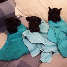 14 Schnauzers Sleeping In Ridiculous Positions Cute Cats And Dogs, Dog Love, Hug, Dog Cat, Sleep, Positivity, Schnauzers, Animals, Animales