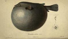 Félix-Édouard Guérin-Méneville | Magasin de zoologie (1831)