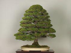 Tsuyamahinoki (Japanese Cypress), photo by the Omiya Bonsai Art Museum.