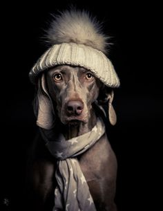 This Weimy is ready for the storm. The #snow storm that is. #Weimy #dogs http://www.youmustlovedogsdating.com