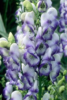 "WOLFSBANE: a toxic also known as ""Aconitum"", flowering plant that can be used to repel Werewolves if great care is taken in its usage; an excessive amount actually increases the chances of savage transformations."