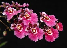 Dancing Lady Orchid, Cedros Bee, Leopard Orchid Oncidium