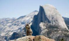 Yosemite+National+Park+Animals   Yosemite National Park Wildlife Yosemite National Park, National Parks, Modern Photographers, People Of Interest, Wildlife, Around The Worlds, Places, Nature, Animals