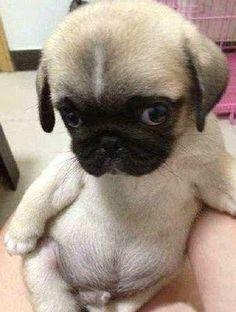 I didnt choose the pug life, The pug life chose me
