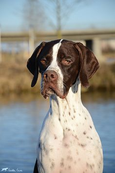 Portraits English Pointer Dog, Hunts, Weimaraner, Hunting Dogs, Basset Hound, All Dogs, Pointers, Animals And Pets, Dog Breeds