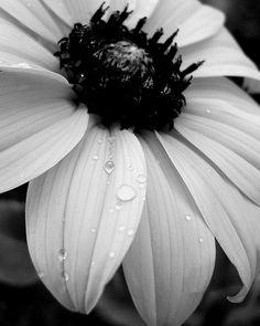 209 Best Black And White Flower Photos Images Black White White