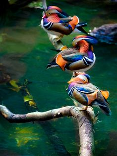 beautiful mandarin ducks Brought to you by Cookies In Bloom and Hannah's Caramel Apples   www.cookiesinbloom.com   www.hannahscaramelapples.com