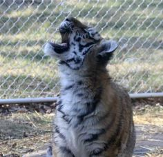 tiger cub playing with bubbles