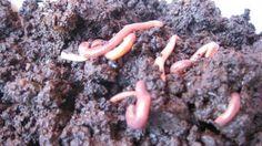 Earthworm Vermicompost – Common Vermicomposting Problems