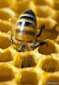 Amber nectar: A busy bee in a honeycomb. Royal jelly is a thick, milky-white substance secreted by the glands of honeybees. And Queen bees l. I Love Bees, Birds And The Bees, How To Kill Bees, Bees And Wasps, Royal Jelly, Bee Art, Bee Happy, Save The Bees, Busy Bee